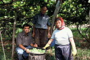 Barbeito Workers Harvesting