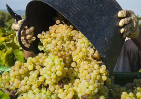 Finca Patagonia Grapes