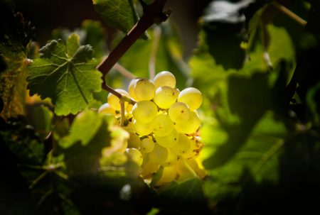 Sauvignon Blance Grape Cluster