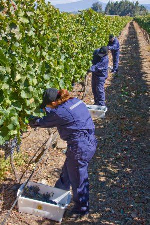 Pickers along vine