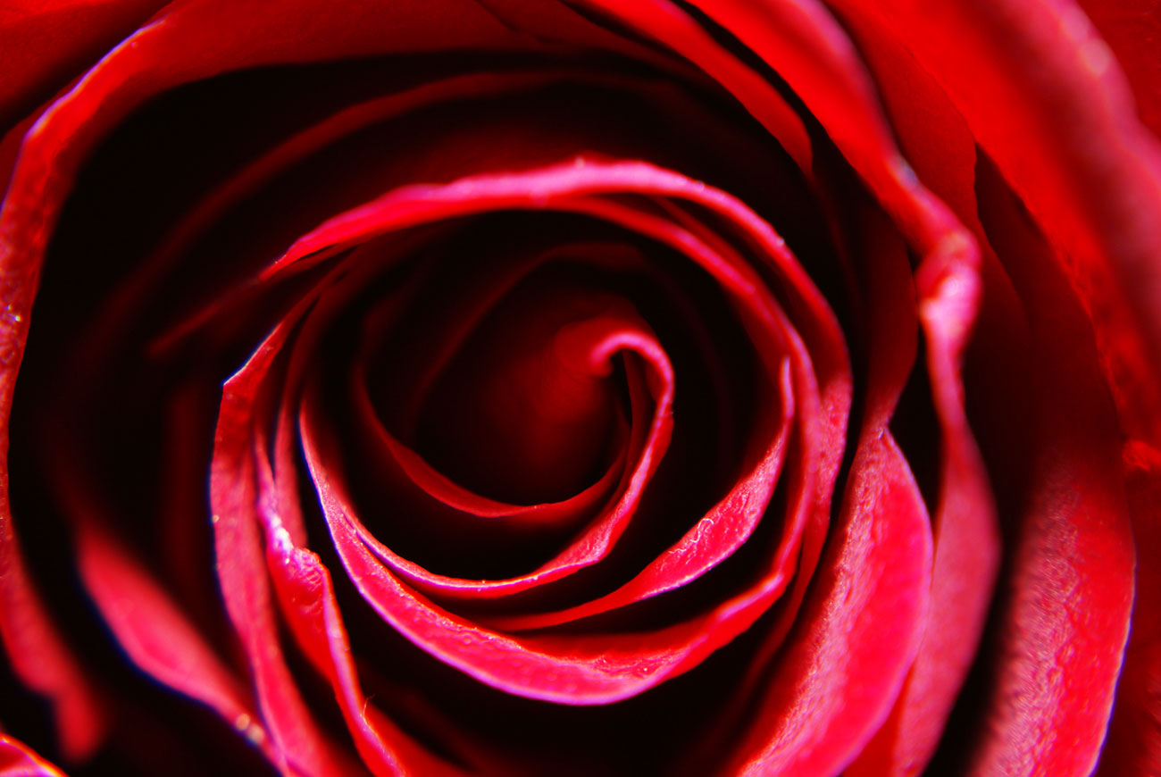 Large Red Rose