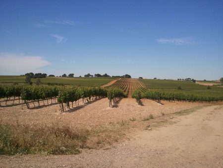 Sotillo De La Ribera Vineyard